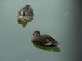 鴨が少しずつ膨れる