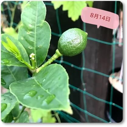 マイヤー檸檬0814