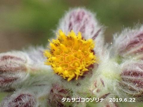 タカサゴコウゾリナ20190622-6