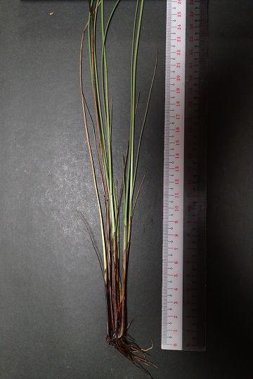 シマテンツキ20190717-4