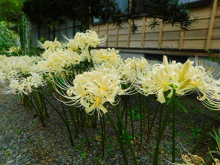 higanbana-20190928-06.jpg