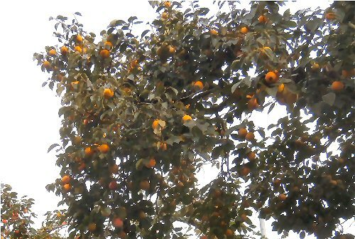 01a 500 20181016 persimmons
