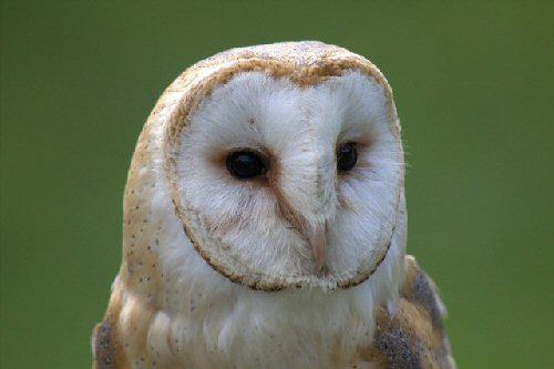 03a 500 owl