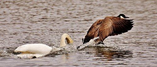 04c 500 swan wild goose arguing