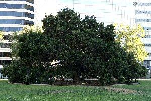 04g 300 oak tree