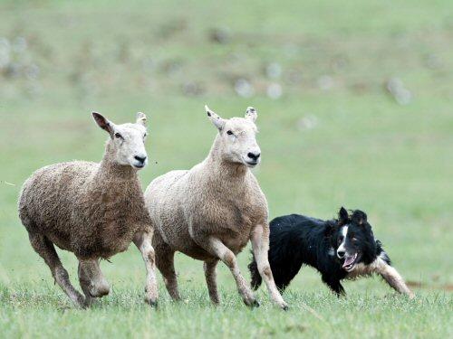 09a 500 sheepdog