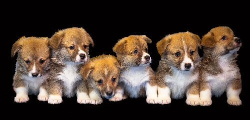 09a 500 sheltie puppies