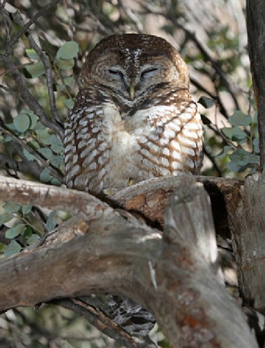 04b 500 Mexican spotted owl
