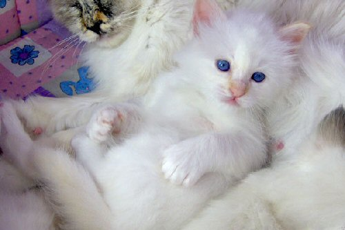 02cb 500 Birman kitten