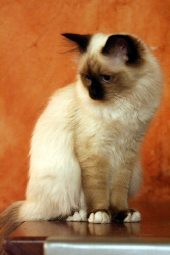02cc 500 Birman kitten