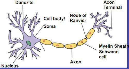 04d 500 213b nervous tissue