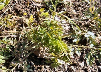 01a 400 carrot in LL garden