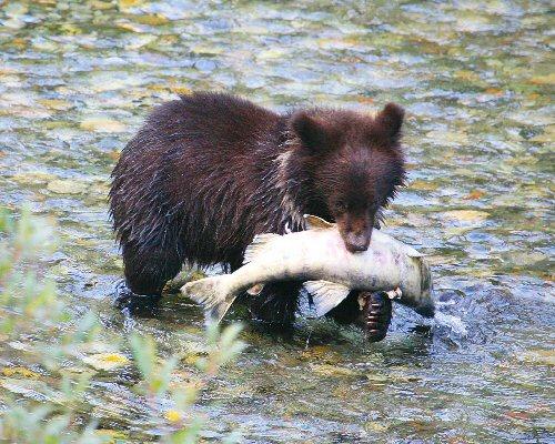 03d 500 salmon bear cub