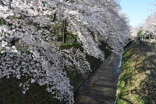 01a 500 桜富士見市01