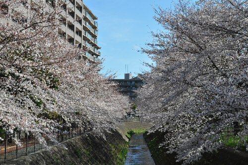 01b 500 桜富士見市02