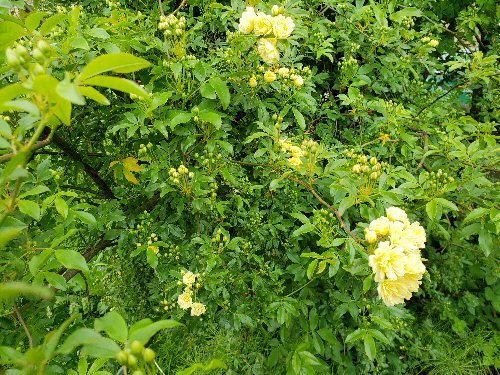 02g 500 20190503_LL-garden 木香薔薇