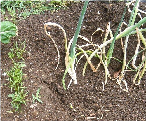 01b 500 LL garden carrot leek