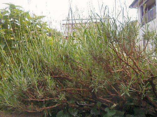 01c 500 LL garden Lavender