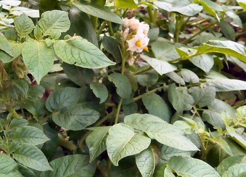 01e 500 potato flower
