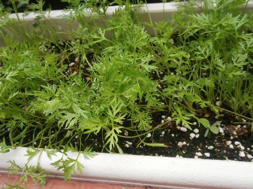 01b 500 190627 carrot planter