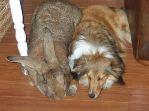 04d 500 Giant rabbit and Sheltie