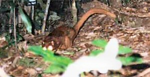 04aa Borneo cat-fox