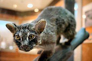 04ab 300 Iriomote cat