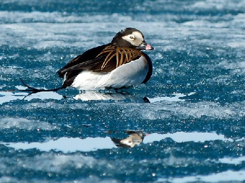 09a 500 long-tailed duck