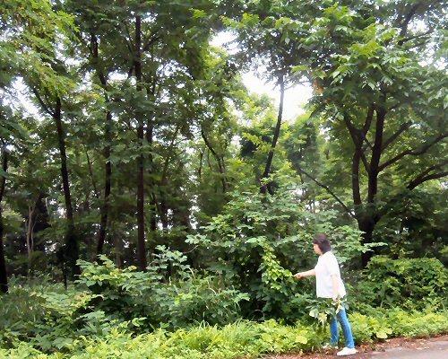 01c 500 190714 松山桑の木R