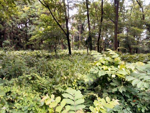 01d 500 190714 松山熊用の竹藪