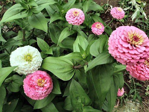 02a 500 190715_百日草LL-garden