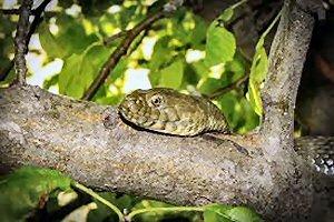 01a 300 snake