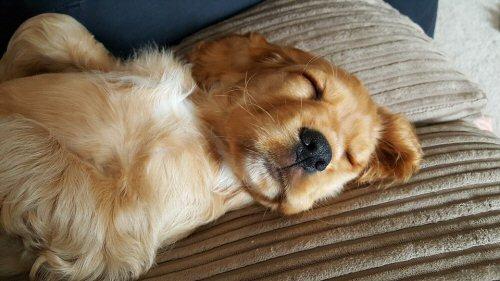 01b 500 sleeping puppy