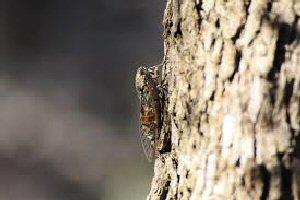 03d 300 cicada on the tree