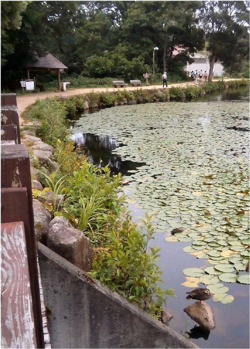 01b 50020190811 いもり池水芭蕉と鴨昼寝