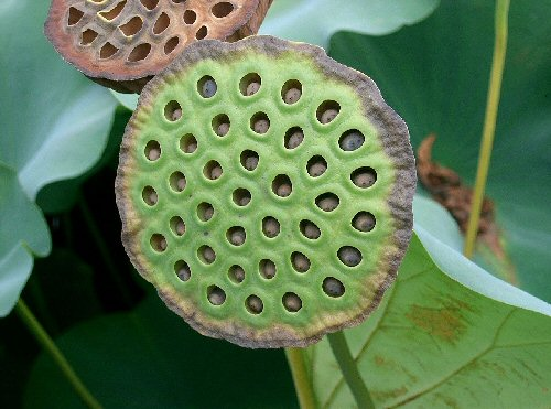 09bb 500 蓮の花托 Lotus seed head