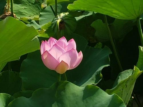 01c 600 190817 lotus 高田公園02