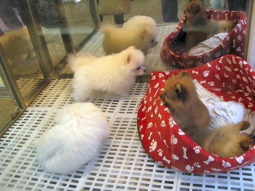 03e 500 pups for sale