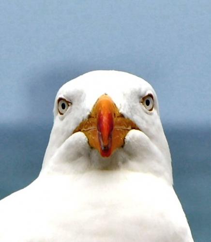 04c 500 seagull face