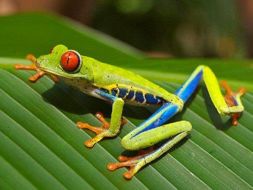 01b 500 Red eye frog