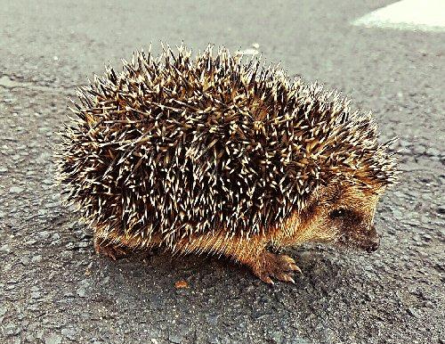 09c 500 hedgehog