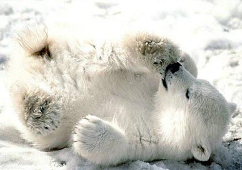 01bb 500 polar bear cub