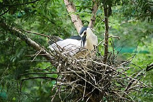 03c 300 五位:night heron