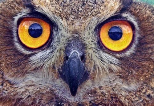 04d 600 owl eyes