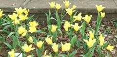 tulip10.jpg