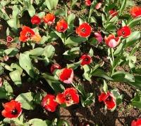 tulip5.jpg