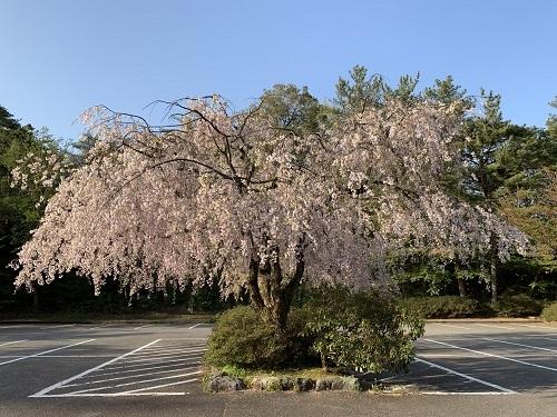 枝垂桜190423-1