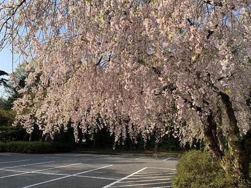 枝垂桜190423-2
