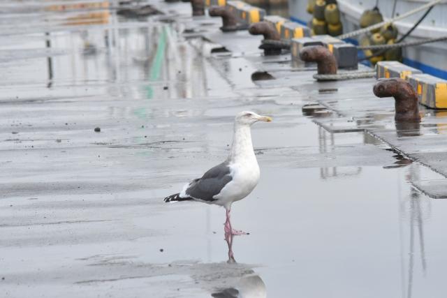 セグロカモメ 苫小牧2018110002