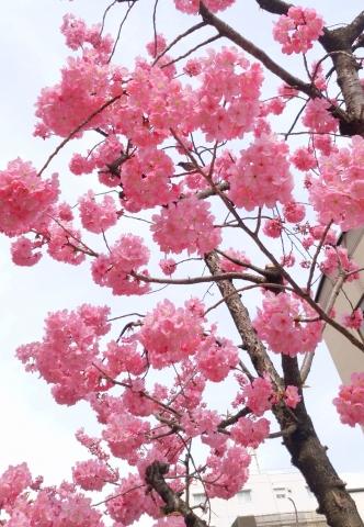 野毛八重桜201903220001